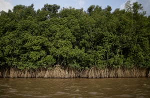Mangroves grow on the banks of the Oiapoque river, Brazil.