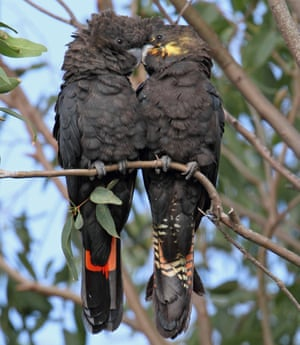 Glossy black-cockatoos are one of Australia's most threatened birds.