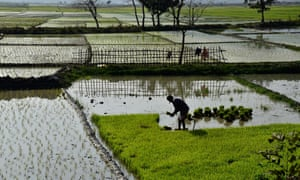 An Indian farmer plucks rice seedlings to replant them in his paddy field in Assam, India.