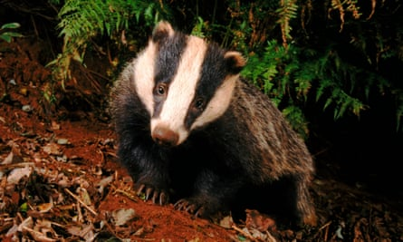 Natural England reports having 29 inquiries from farmers' groups wanting to kill badgers locally.