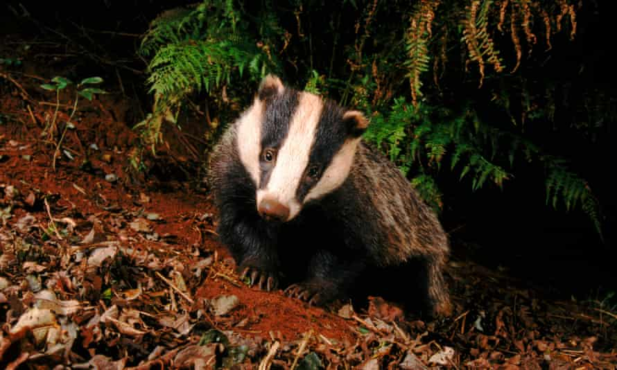 People persecuting badgers have been brought to the attention of the RSPCA.