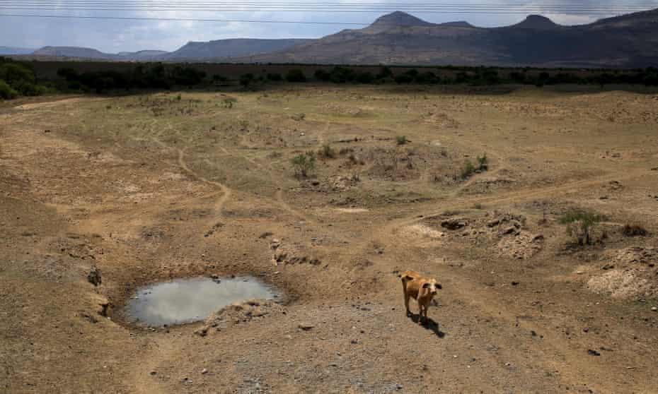 A cow in KwaZulu-Natal, South Africa