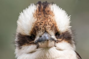 A laughing kookaburra perched on tree branch