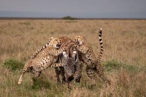Cheetahs work together and bring down a zebra in Kenya