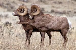 Bighorn Rams exhibiting attitudes during the rut in Gardiner, Montana.