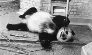 Ching Ching at London Zoo - GNM Archive ref: OBS/6/9/2/1/A box 5