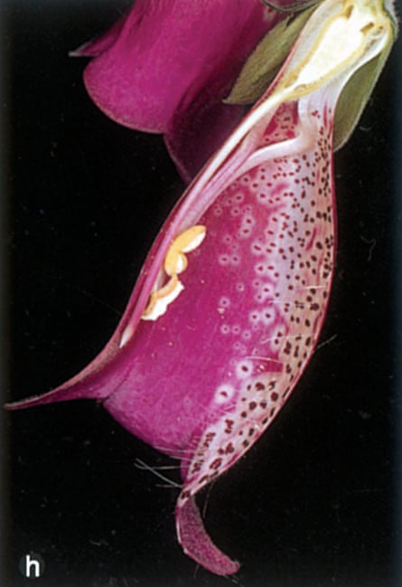 Michael Proctor's image of a half section of the flower of the foxglove, Digitalis purpurea, from The National History of Pollination, 1996.