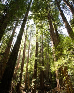A romance takes place several hundred feet up a giant redwood in the novel. Photograph: Alamy