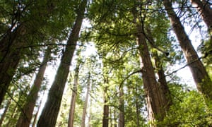 Tall story … Sequoia Forest in California.
