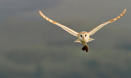 A barn owl (Tyto alba) carrying its prey in Dumfries and Galloway in Scotland.