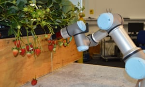 A robotic strawberry picker, designed by the University of Essex.