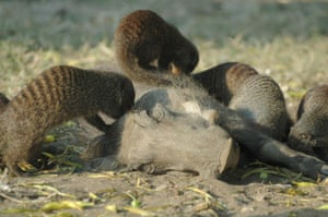 Warthogs living in Uganda's Queen Elizabeth national park
