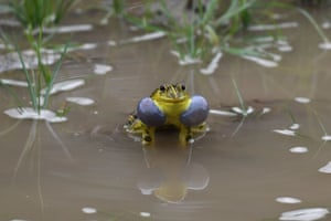 Ghaziabad, India: A male frog calls for mating inside a puddle of water