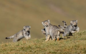 Winner - Behaviour, Mammals: When mother says run by Shanyuan Li, China. This rare picture of a family of Pallas's cats, or manuls, on the remote steppes of the Qinghai-Tibet Plateau in northwest China is the result of six years' work at high altitude. These small cats are normally solitary, hard to find and mostly active at dawn and dusk.