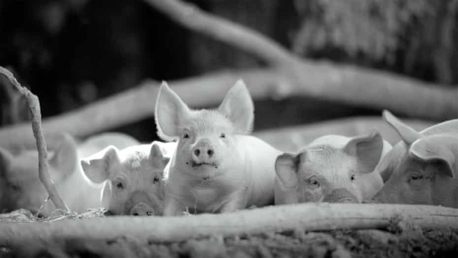 'Have you seen the little piggies?' ... Gunda.