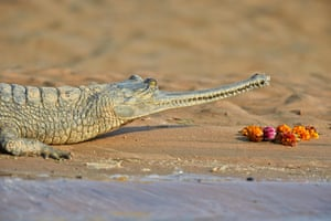 A gharial on the banks of the Chambal river in Uttar Pradesh