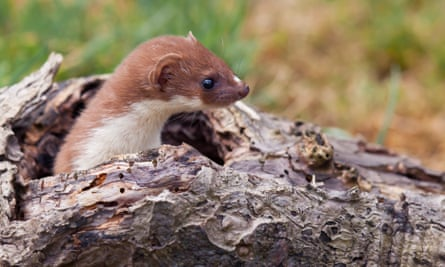 The weasel is said to be found in most habitats across mainland Britain.