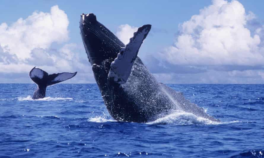 If activists hadn't succeeded in ending whaling, many species would likely be extinct today. A humpback whale breaches.
