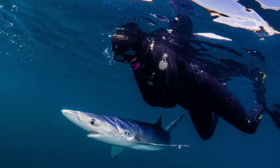Snorkelling with blue sharks off the coast of Plymouth, UK.