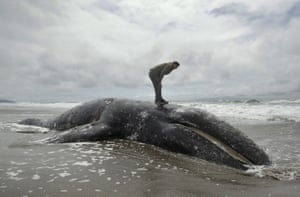 Duat Mai examines a dead whale on Ocean Beach, San Francisco. Scientists are investigating a spike in grey whale deaths along the US west coast