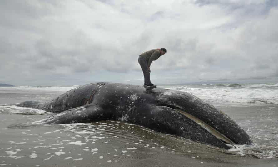 A dead whale at Ocean Beach in San Francisco in May. More whales have been found washed up than in any other year since 2000.