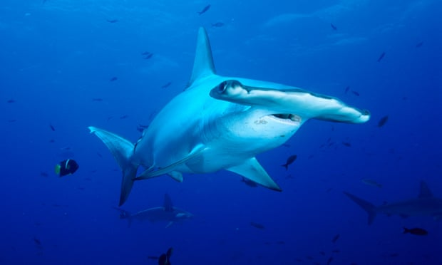 Thirty sharks captured on barrier reef and exported to France all died in captivity