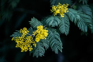 A mimosa tree blooms one-and-a-half months early in Sochi, Russia, because of abnormally warm weather