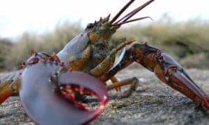 An American lobster