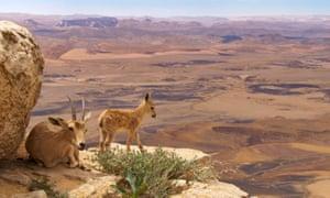 Nubian ibexes in the Arabian cliffs.