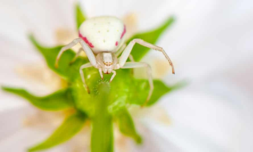 White crab spider.