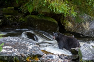 An American black bear looking for salmon near Ketchikan in south-east Alaska.