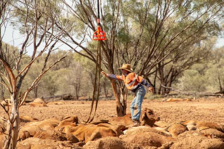 a man tries to rescue cattle in Queensland