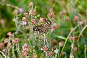A speckled wood butterfly lays her eggs in Arne, Dorset, on a sunny September morning.