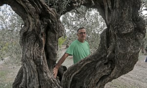 Toni Civico with his oldest olive tree