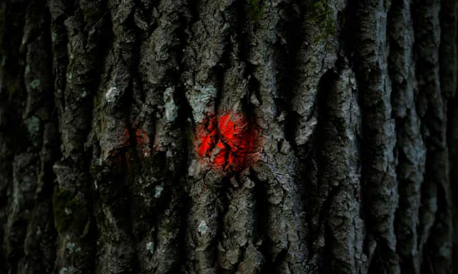 A tree marked for logging in the Białowieża forest. The Polish government says it is clearing dead trees to prevent damage by the spruce bark beetle.
