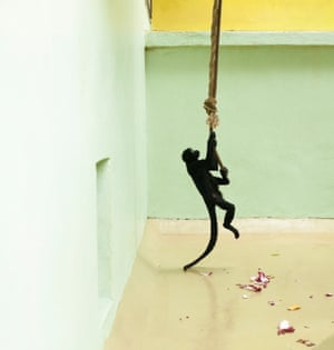 Spider Monkey, Green and Yellow Enclosure