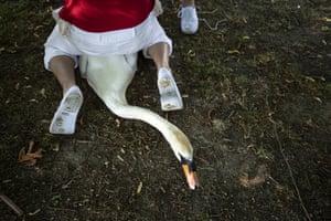 A swan has its leg tagged