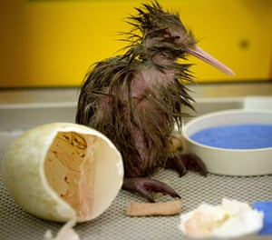 A kiwi chick hatches at Auckland zoo.