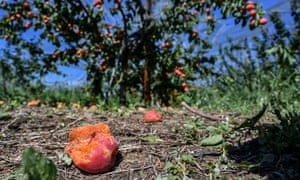 Apricots hit by hailstorms