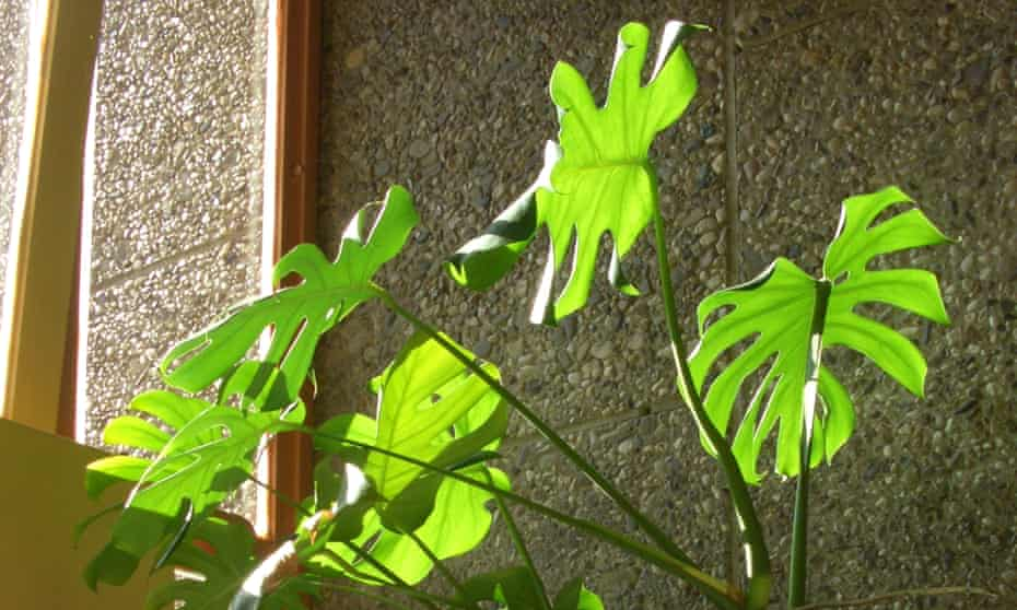 Light fantastic: Swiss cheese plants can cope with low light.