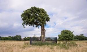 Common Oak (Quercus robur) 'Son of Royal Oak' storm damaged descendant of original 'Royal Oak' where King Charles II hid