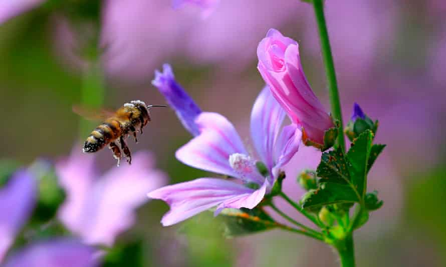 A bee landing on a mallow. Neonicotinoid insecticides have been banned by the EU for use on crops because of their devastating effect on bees.