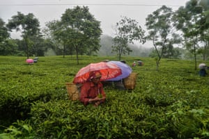 Siliguri, India Workers pluck tea leaves during rainfall after a relaxation of Covid lockdown restrictions in Rohini village
