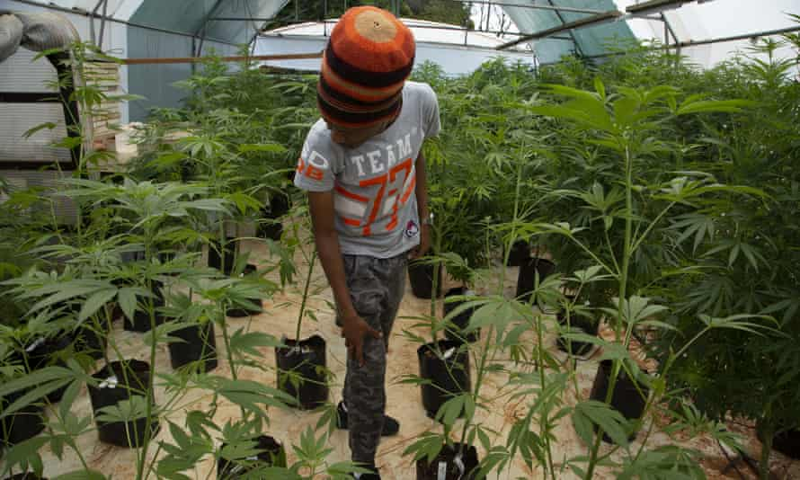 Small-scale farmer Itumeleng Tau stands among his cannabis plants in a hothouse in Krugersdorp, South Africa.