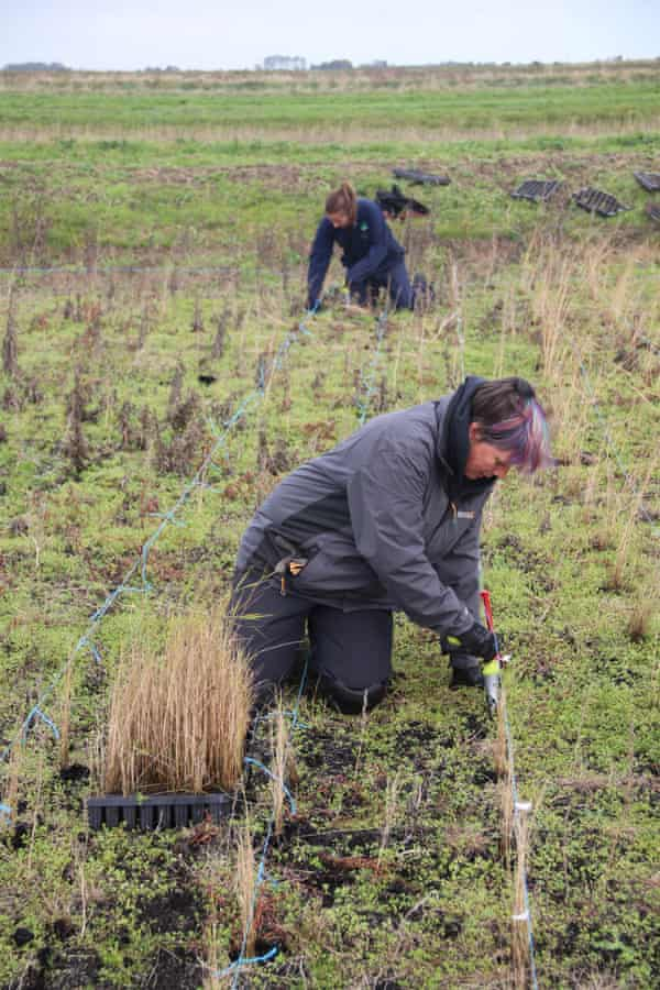 Lorna Parker, restoration manager for the Great Fen project, plants common reed.