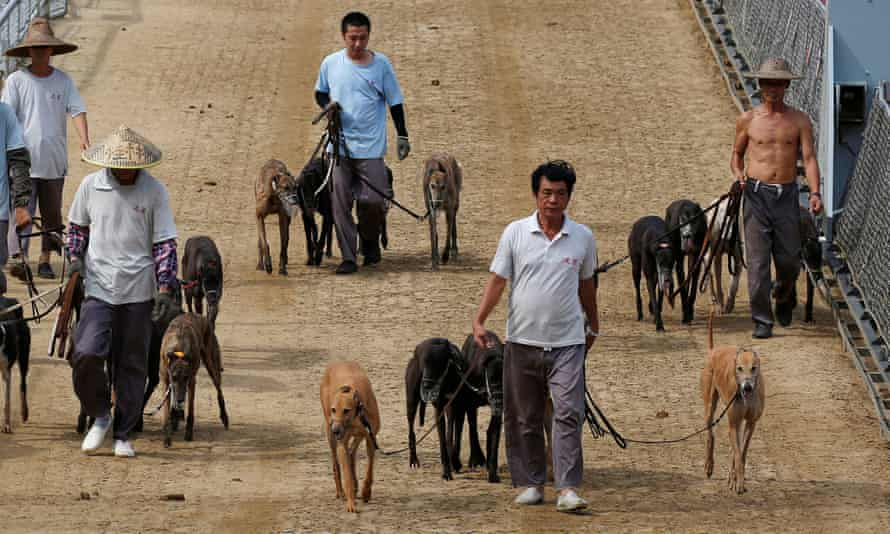 Greyhounds led out at the Macau Canidrome