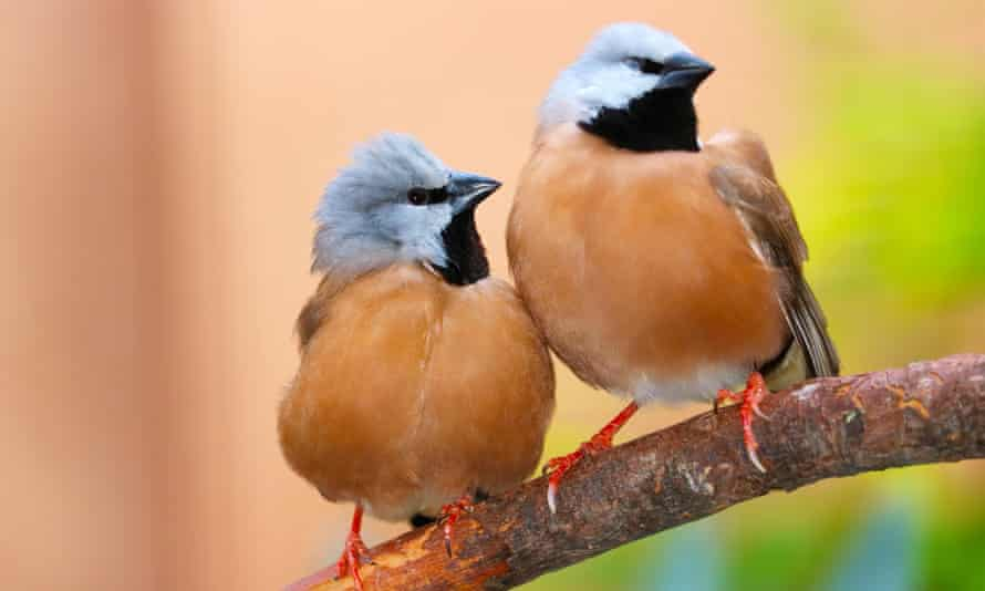 Black-throated finches