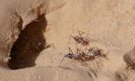 Footage shows world's fastest ants at top speed – video