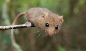A hazel dormouse on a branch