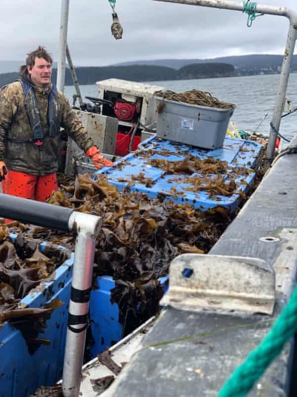 Fisherman Alf Pryor supervises an offload of kombu